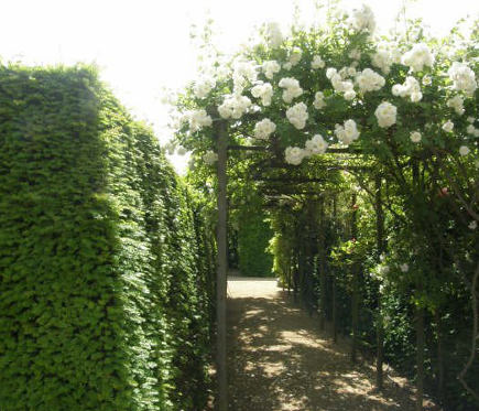 pergola covered by climbing white roses in a garden between two hedges