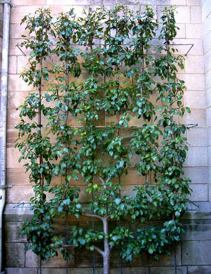 candelabra shape espalier pear tree at the Cloisters herb garden, NYC - flickr via Atticmag
