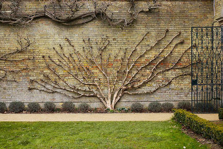 espalier trees - natural shape espalier tree at Wrest Park - flickr via Atticmag