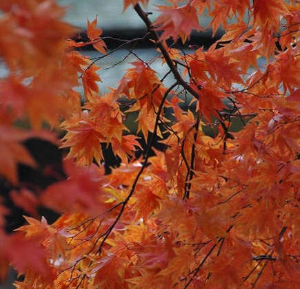 orange home decor - Japanese maple leaves - flatbush gardener via atticmag