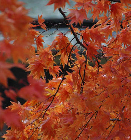 Japanese maple leaves - flatbush gardener via atticmag