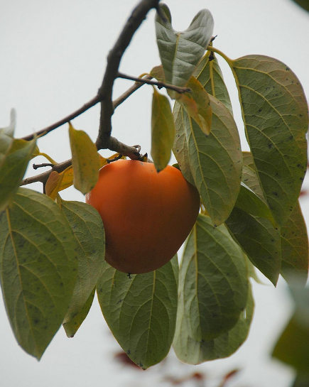 orange home decor - Japanese persimmon - flatbush gardener via atticmag
