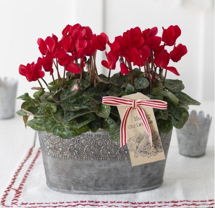 Christmas flowers - two red cyclamen plants in an oval tin container - waitrose direct via atticmag