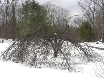 storm damage - flowering plum tree damaged by a winter show storm - Atticmag