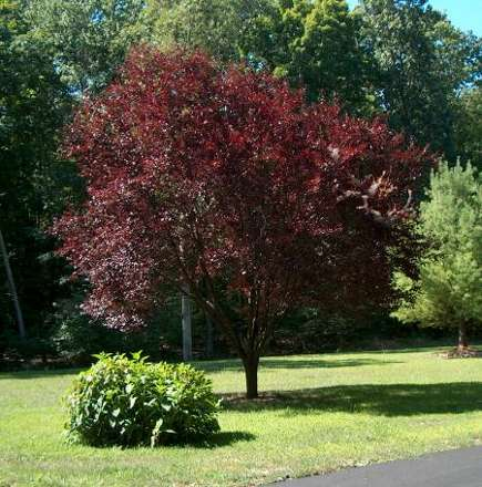 storm damage - flowering plum tree in summer with full foliage - Atticmag