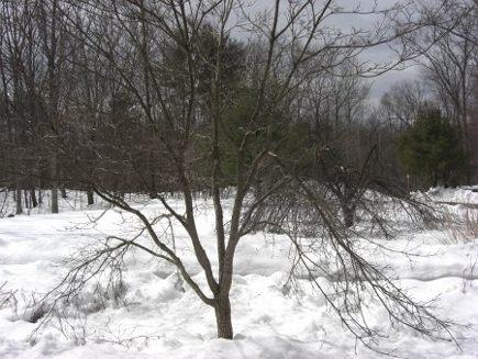storm damage - dogwood tree with storm damaged limbs - Atticmag