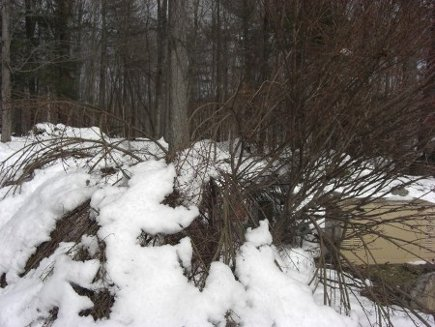 storm damage - burning bush nearly crushed by snow - Atticmag