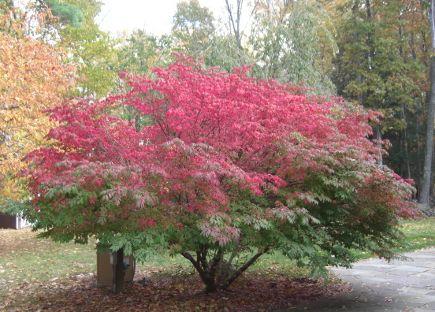 storm damage - burning bush at near-peak color in the fall - Atticmag