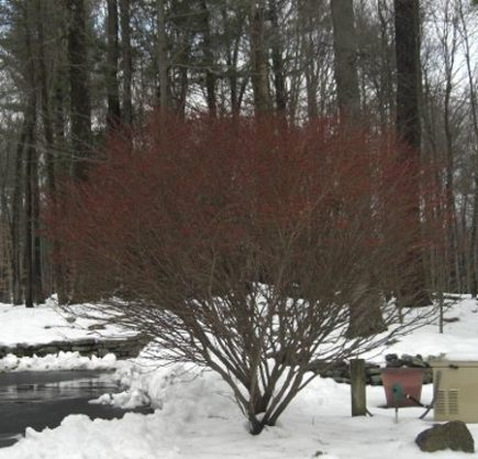 storm damage - burning bush tree freed from the snow and upright - Atticmag