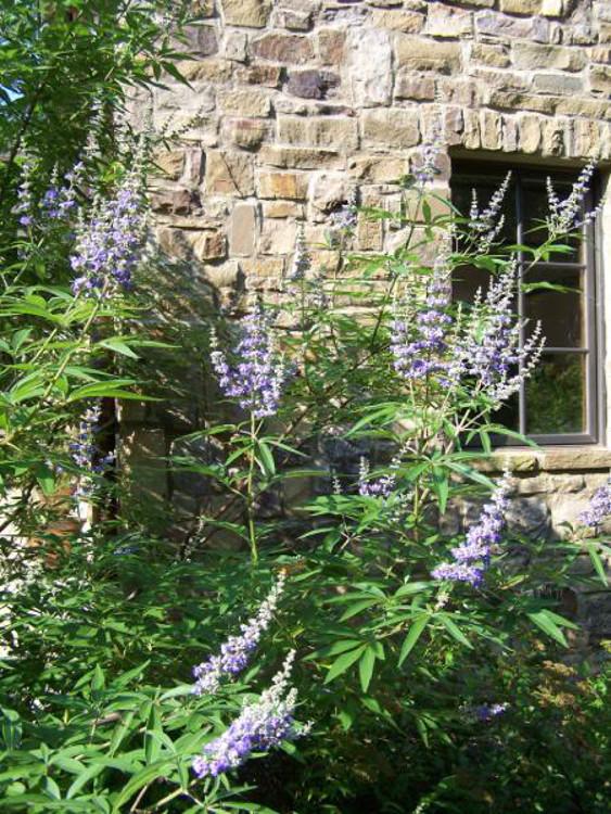 cottage gardening - Chaste tree flowering in Alabama - Atticmag