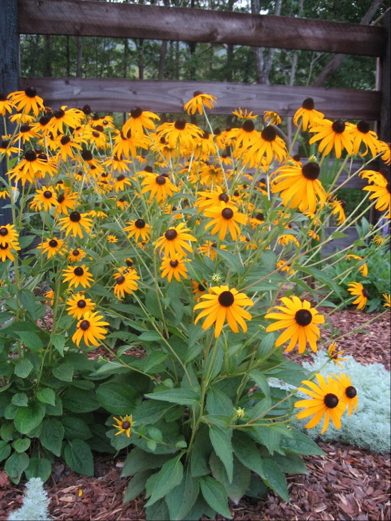 cottage gardening - flowering black eyed Susans in Alabama - Atticmag