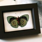 butterflies - museum quality framed Darwin butterfly in a shadowbox frame - Butterflies of Egypt via Atticmag