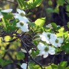 cottage gardening - flowering dogwood tree in the spring - Atticmag