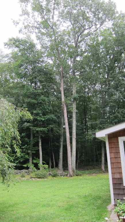 power outage - huge old trees in the backyard that were worrisome during hurricane Irene - Atticmag