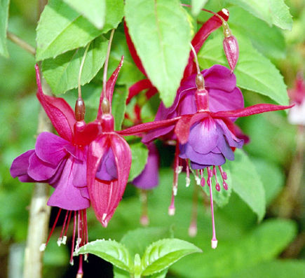 fuchsia blossoms - Wikipedia via Atticmag