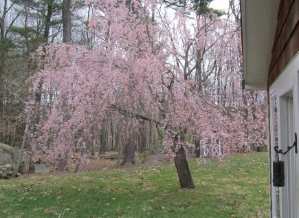 round tree bench - pink flowering weeping cherry tree - Atticmag