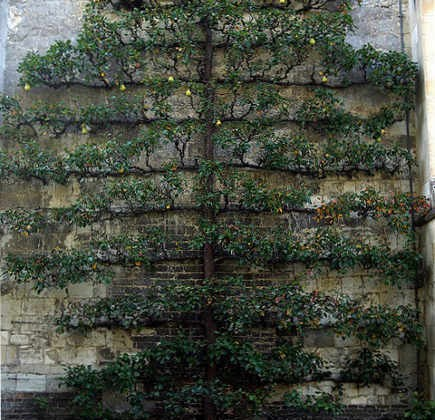 espalier trees - espaliered quince at Anglsey Abbey - flickr via Atticmag