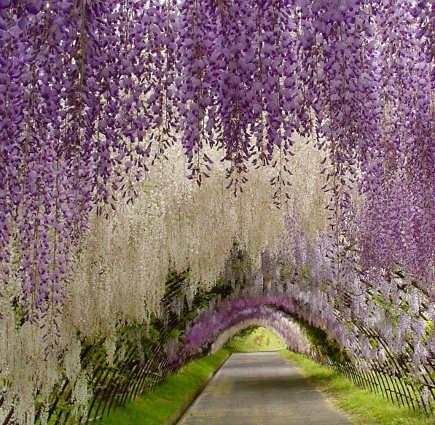 wisteria in bloom at Kawachi garden in Kitakyusu, Japan - trip advisor via atticmag