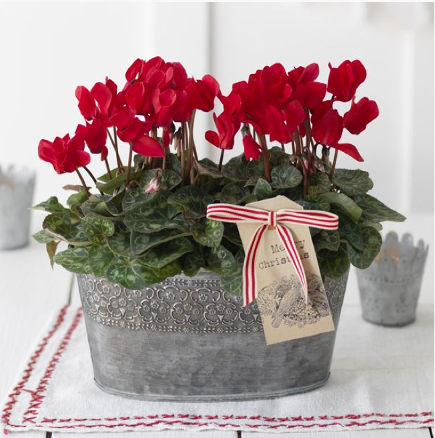 Informal Christmas flowers - two red cyclamen plants in an oval tin container - waitrose direct via atticmag