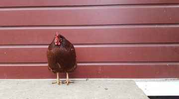 chicken story - Rhode Island red chicken - Atticmag